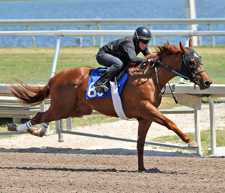 Speightstown's $650,000 colt, hip No. 83, breezing at the 2018 Fasig-Tipton Gulfstream Sale – Tibor & Judit photo