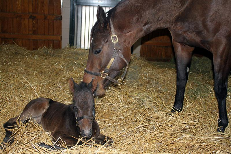 Bellamy Road colt is first foal of 2015 at WinStar